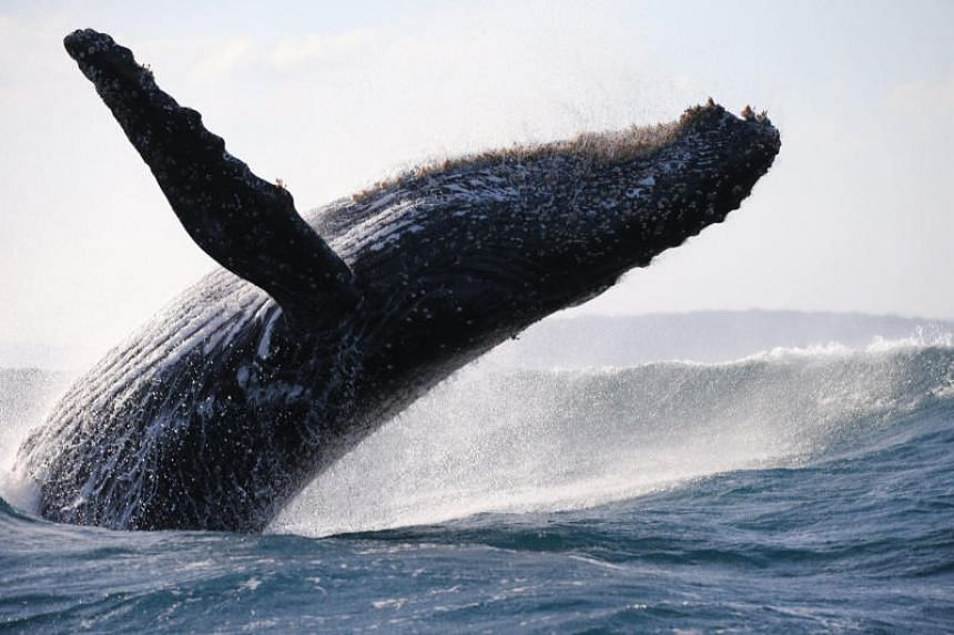 A study found that blue whales usually favour their right side when they lunge to catch food.