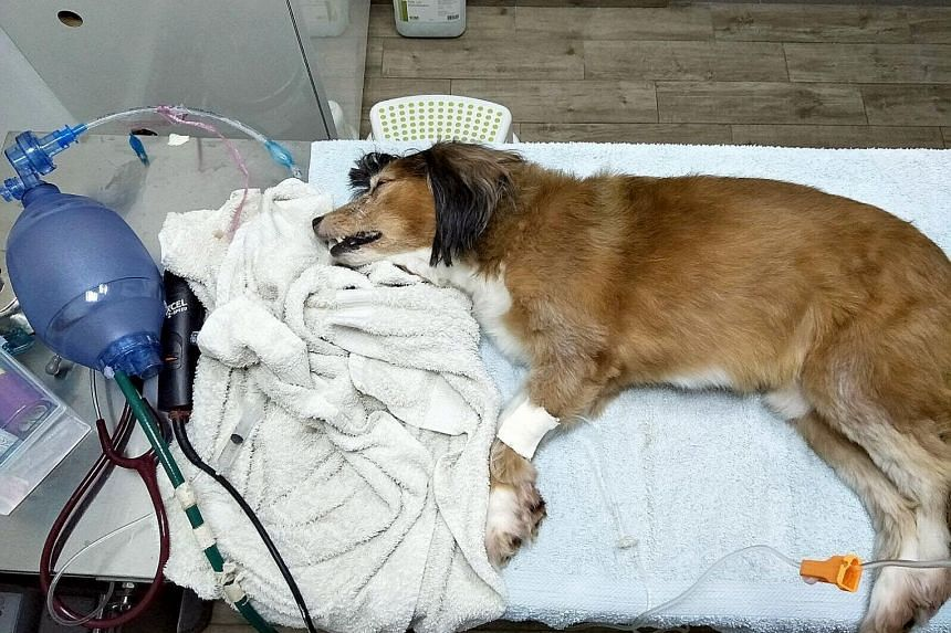 Ludo, the eight-year-old Sheltie-Cavalier. Ms Natasha Wilkins was walking it along Lorong Lew Lian when it ate a piece of bread on the ground and within 15 minutes, it was shaking, retching and foaming at the mouth.