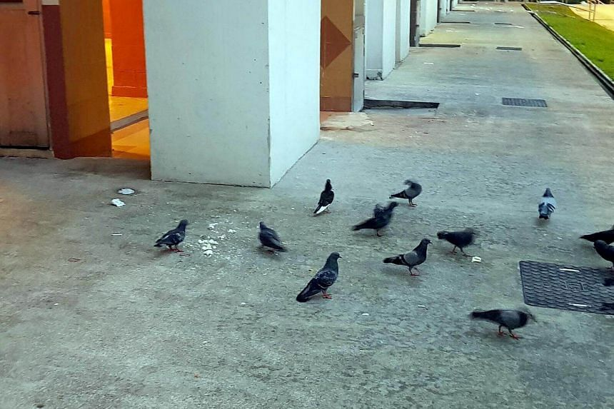 Pigeons at the void deck along Lor Liew Lian, fed rice by people from the neighbourhood.