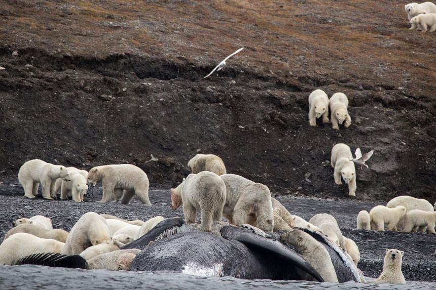 The bears had come to feast on the carcass of a bowhead whale that washed ashore, later resting around the food source.