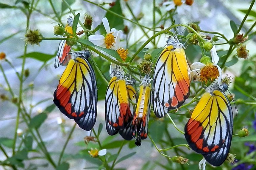 The red and yellow colours on the ventral wings of the painted jezebel serve as warning signals to predators. The butterfly is commonly found in urban and forested landscapes throughout the Asia-Pacific region, including Singapore.