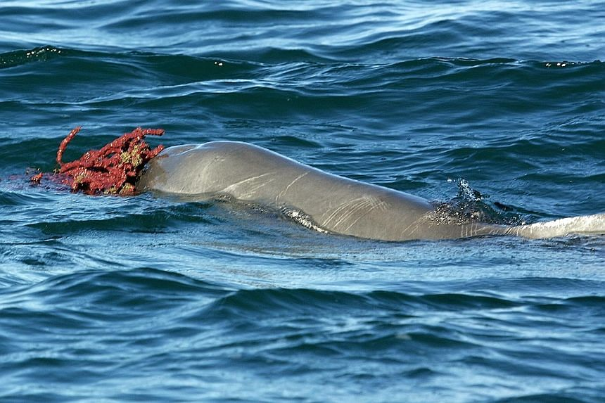 A humpback dolphin with a marine sponge. The latest example of sponges as gifts could be male dolphins showing off in order to present their strength.