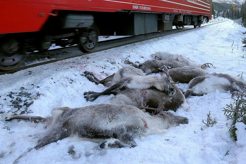 A train driving past dead reindeer next to the railway near Mosjoen in northern Norway, on Nov 25, 2017.