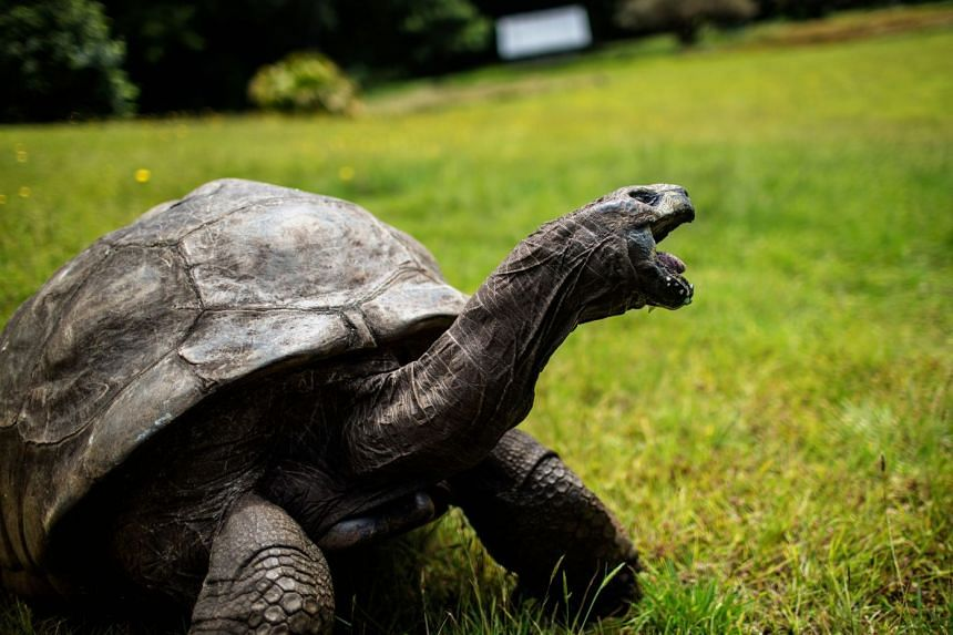 Jonathan the tortoise (above), believed to be at least 185 years old, lives in pampered luxury on the remote British island of St Helena, which recently opened an airport.