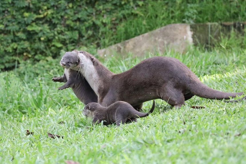 A new litter of at least 6 pups were spotted at the Marina Bay area on Nov 27, bringing the total number of otters in Singapore to more than 60.