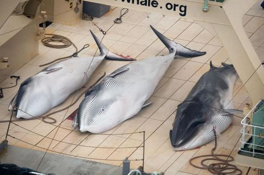 A handout photo taken on Jan 5, 2014, shows three minke whales dead on the deck of the Japanese factory ship Nisshin Maru inside a Southern Ocean sanctuary.
