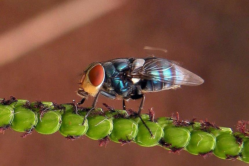 A photo of a blowfly taken using a system called photo stacking, where the photographer moved the very shallow field of depth along the body axes of the insect and then combined up to 24 images in the computer, while only retaining the parts that are