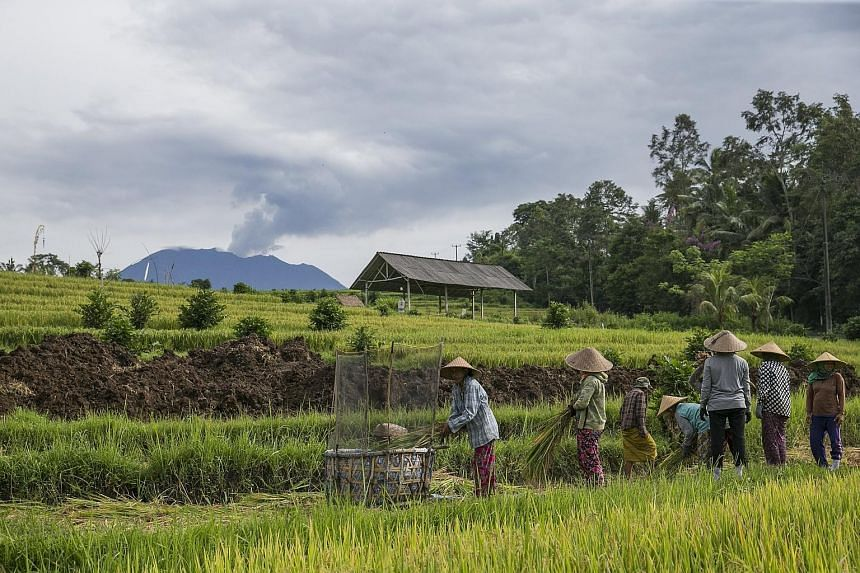 """Farmers at work in Karangasem, Bali, as Mount Agung continued to spew ash yesterday. The authorities say the volcano remains in a """"critical phase"""" with the potential for a major eruption."""