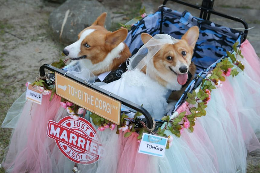 Two Corgis Tohgi (left), and Niu Niu (right) had a beach wedding with more than 100 other Corgis in attendance. Their respective owners are hoping they will mate when they meet every week.