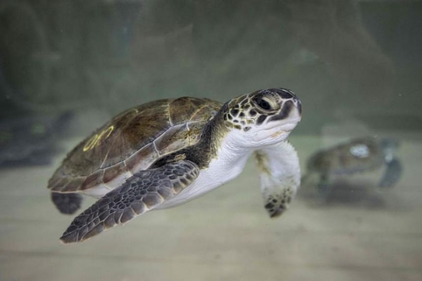 A sea turtle swims in a tank at New England Aquarium's Sea Turtle Hospital on Nov 29, 2017 in Quincy, Massachusetts.