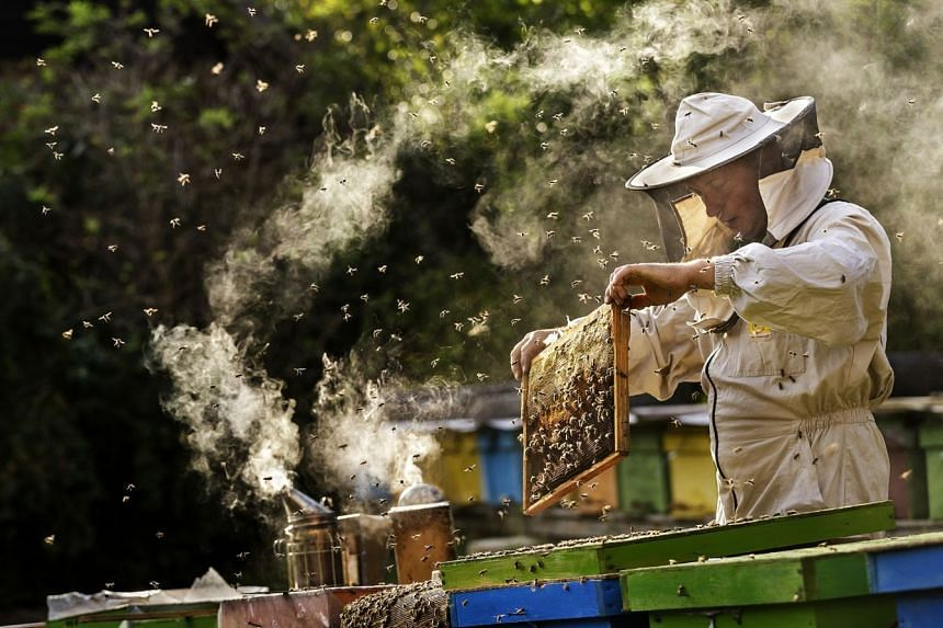 Manuka honey is produced by bees foraging on the flowers of the tea tree shrub, which grows wild in Australia and New Zealand.