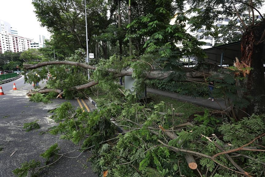 A branch of a fallen tree blocked traffic on two lanes of Lower Delta Road on Nov 22. The 361 incidents of toppled trees and fallen branches reported this year are a drop of more than 85 per cent from 3,000 in 2001, NParks said.