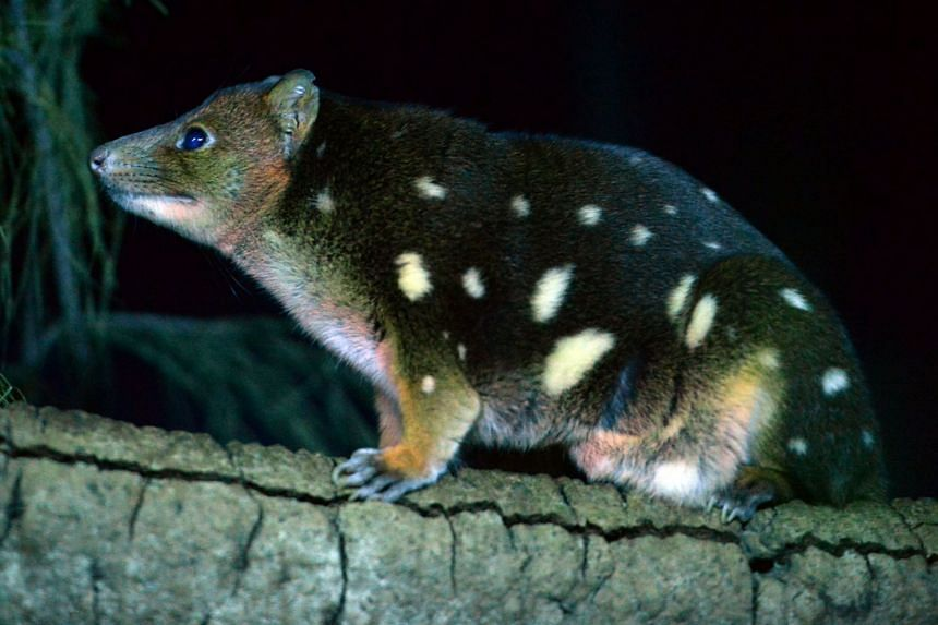 Australian researchers are working with dog owners to train their dogs to track endangered animals, such as the tiger quoll (pictured), through the animals' droppings.