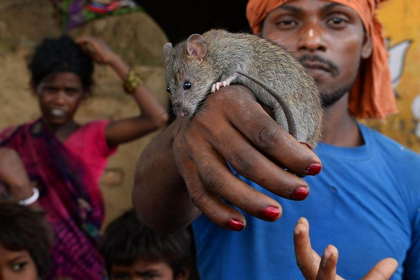 A member of the Musahar community holding a rat at Alampur Gonpura village in the eastern Indian state of Bihar, on Aug 18, 2017.