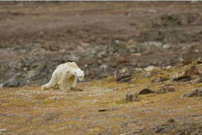 The video, shot by National Geographic-contributing photographer Paul Nicklen and filmmakers from a conservation group called Sea Legacy, shows the starving animal making its way with difficulty across the terrain.