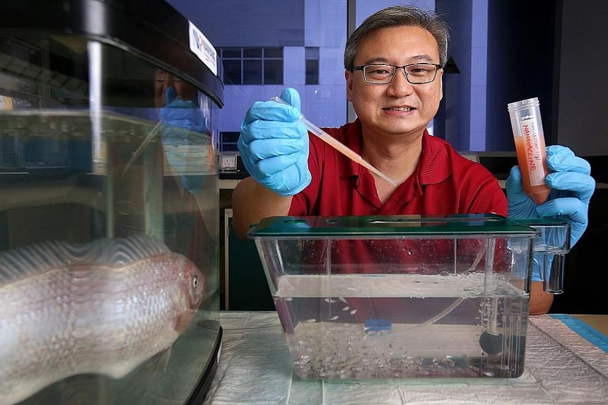 Nanyang Polytechnic's Dr Jeffrey Seng with the nanovaccine. The powder form is first diluted in water, then dripped into the fish tank. Dr Seng's team came up with the nanovaccine, where a vaccine for tenacibaculum maritimum is packaged into a materi