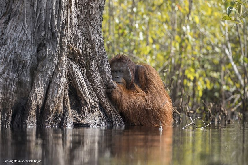 Mr Jayaprakash's photo of a male orang utan in a river clinched him the award of 2017 National Geographic Nature Photographer of the Year.