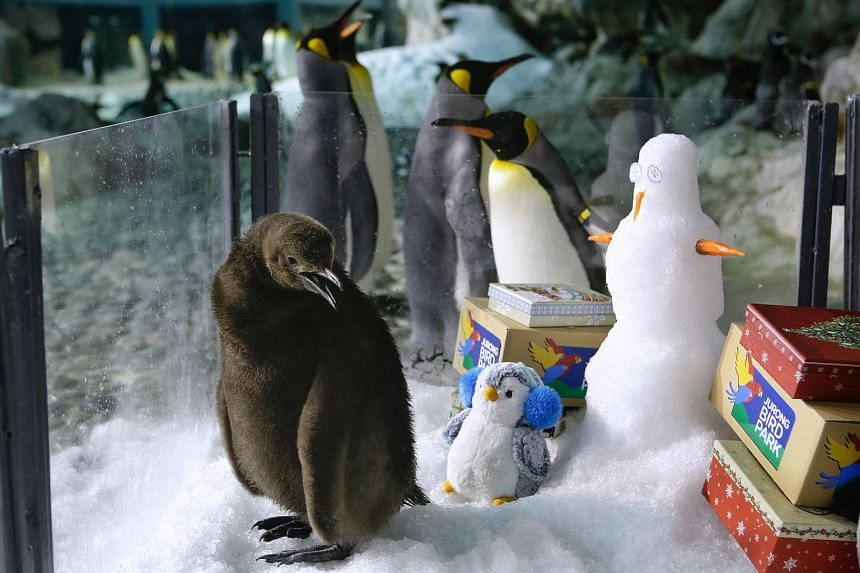 """Two-month-old King Penguin chick Maru, which means """"round"""" in Japanese, in its enclosure at the Jurong Bird Park on Dec 13, 2017."""