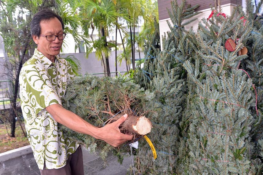 Professor Shawn Lum, president of the Nature Society (Singapore), counting the seven rings inside a Fraser Fir tree's bark to see how old it is. Christmas trees take seven years on average to reach their marketable height.