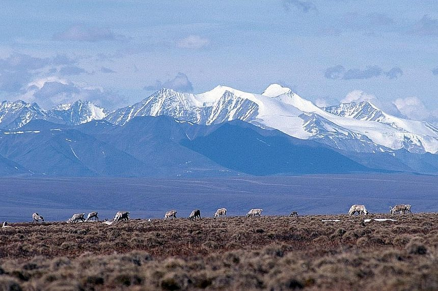 Caribou grazing on the coastal plains of the Arctic National Wildlife Refuge. Long eyed by the oil and gas industry, the refuge has been jealously guarded by environmentalists and local indigenous people who still live off the land and on the herds o