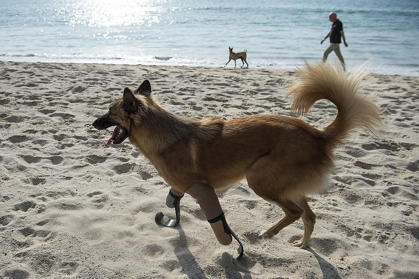 A dog in Thailand which had its legs hacked off for chewing a pair of shoes is running free again after being fitted with the type of blades used by paralympic runners. Cola's front legs were sliced off with a sword about a year ago in a violent atta