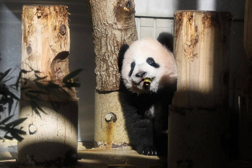 Six-month-old Giant Panda cub Xiang Xiang eats bamboo at a room of special facility during a press preview at Ueno Zoo in Tokyo on Dec 18.
