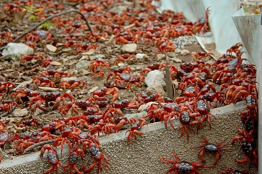 The red crab migration turns the streets on Christmas Island a bright red. The phenomenon can be viewed on Google Maps Street View from early next year. But Lee Kong Chian museum visitors can watch it first.