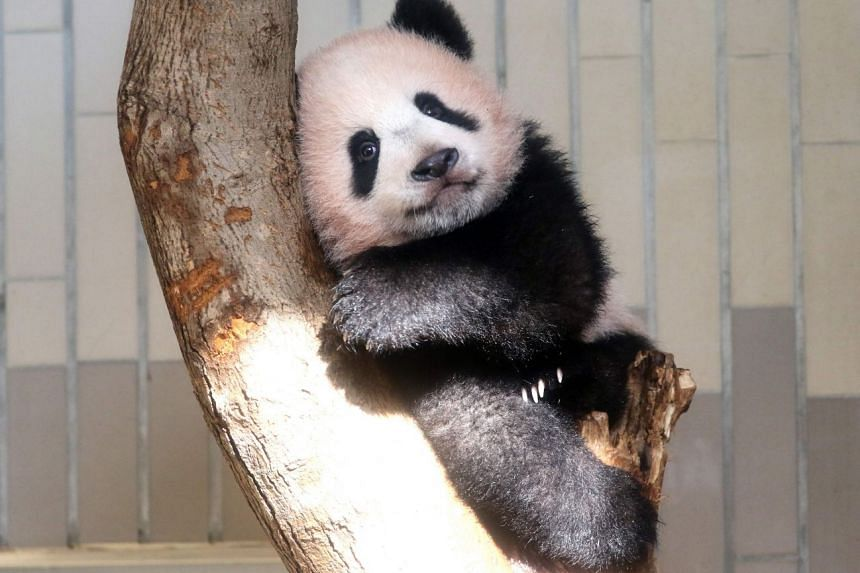 Baby panda Xiang Xiang playing in its enclosure during a press preview at Ueno Zoo in Tokyo on Dec 18, 2017.