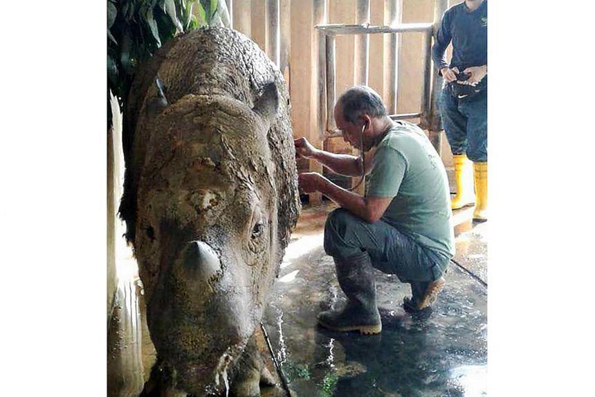 Female Sumatran rhino Iman is one of just two Sumatran rhinos known to still be alive in Malaysia.