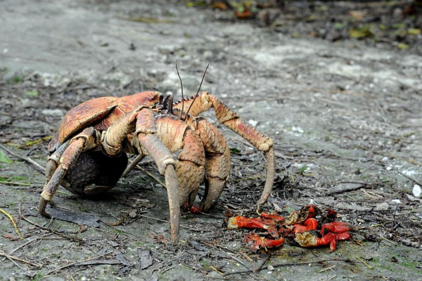 Coconut crabs, also known as robber crabs and by their scientific name Birgus latro, roam forests and climb trees in search of nuts and fruits, and also anything edible they come across, such as carrion.