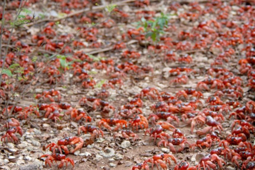 There are more than 40 million red crabs on Christmas Island, which has a population of about 2,000 people.