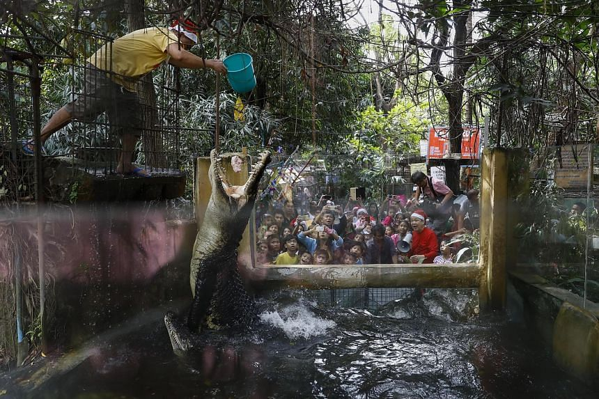 A zoo staff feeding crocodiles at the Malabon Zoo in Malabon City, north of Manila, Philippines, yesterday. Zoo owner Manny Tangco was dressed up as Santa Claus as he led visitors on a tour of the 28-year-old attraction ahead of the Christmas season.