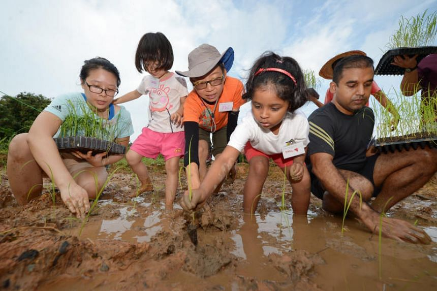 (From left) Ms Szeto Hiu Yan, 30, and her daughter, Sarah Yeo, three; volunteer Chang Hui Bue, 48, Hana Rahmah, six, and her father, Habeebul Rahman, 43, plant a paddy field in Lorong Chencharu on Dec 23, 2017, as part of a public rice-planting sessi