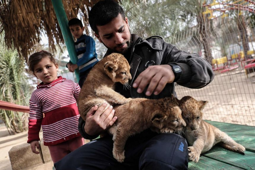 A Palestinian man plays with lion cubs at a zoo in Rafah, in the southern Gaza Strip, on Dec 22, 2017.