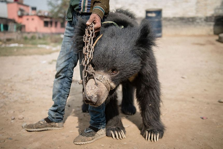 A rescued bear being transported from a police station in Nepal's southern Rautahat district to the Parsa Wildlife Reserve on Dec 20, 2017.