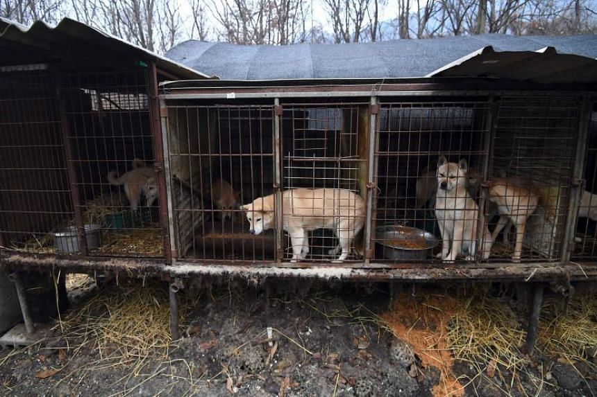 Dogs in cages at a dog farm during a rescue event, involving the closure of the farm organised by the Humane Society International (HSI) in Namyangju on the outskirts of Seoul.