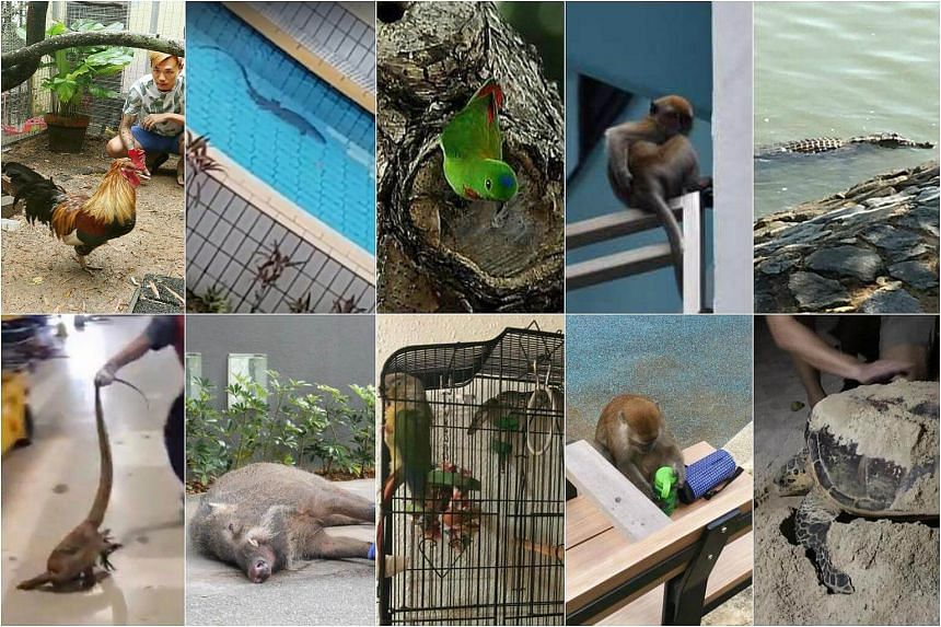 (Clockwise from top left) A chicken, a monitor lizard in a pool, a blue-crowned hanging parrot, a long-tailed macaque, a crocodile, a hawksbill turtle, a monkey, a python ready to attack a bird, a wild boar and a monitor lizard are the top 10 animals