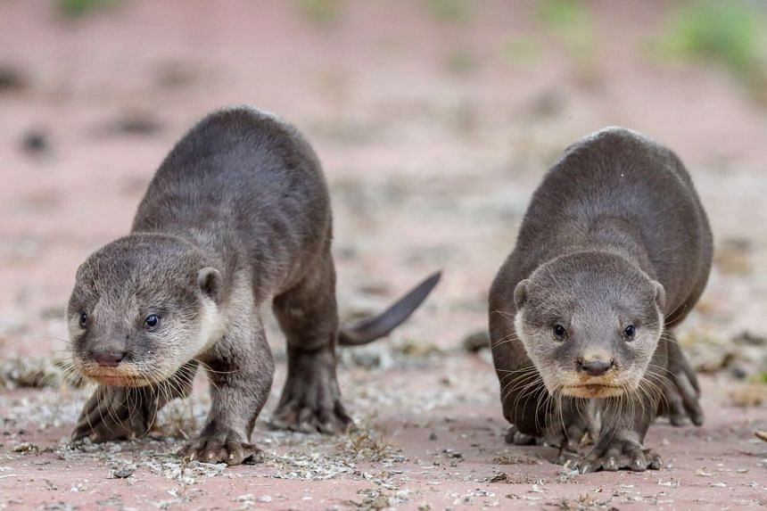 Two lost otter pups from the Bishan family were reunited on Dec 28, 2017 after 30 hours.