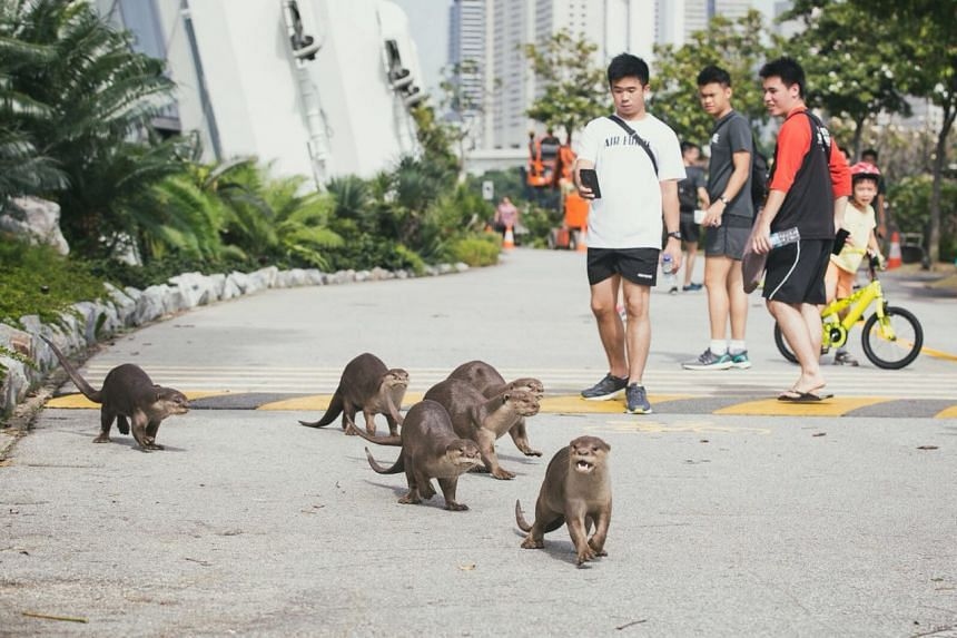 Two lost otter pups from the Bishan family were reunited on Dec 28, 2017 after 24 hours.