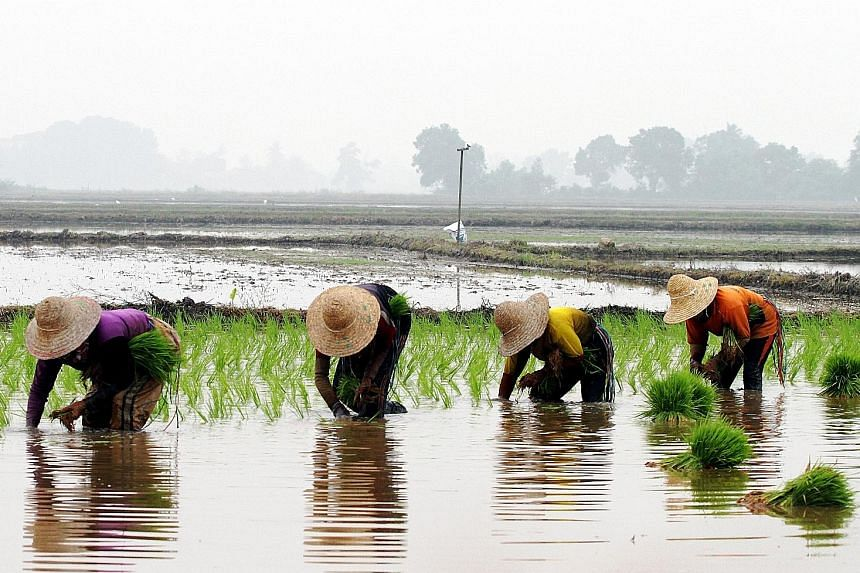 Malaysian paddy farmers are up in arms over national rice agency Bernas' alleged failure to protect and promote the local industry, by favouring cheaper imported rice to bump up its own profits.