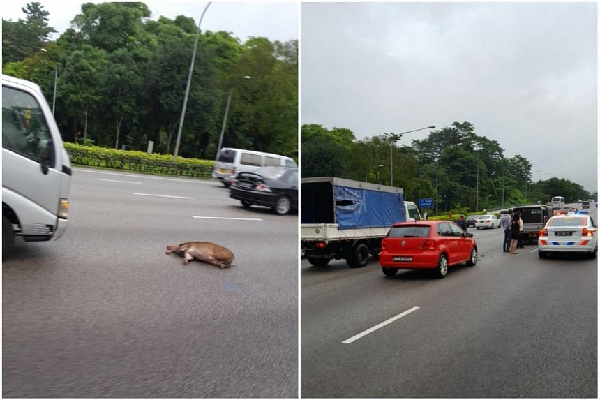 A wild boar caused a two-vehicle accident on the Pan-Island Expressway on Dec 31, 2017.