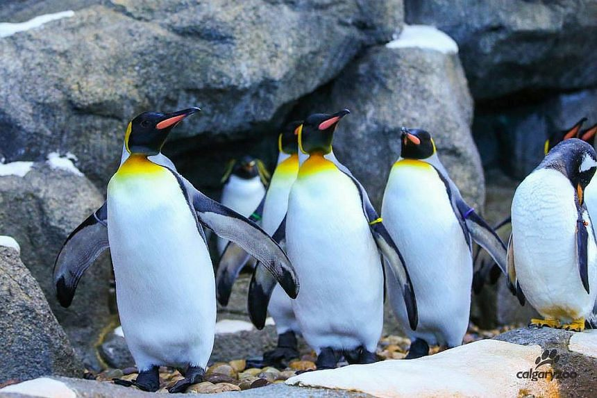 King penguins were brought into their heated enclosure, where they can still be viewed by humans brave enough to be out.