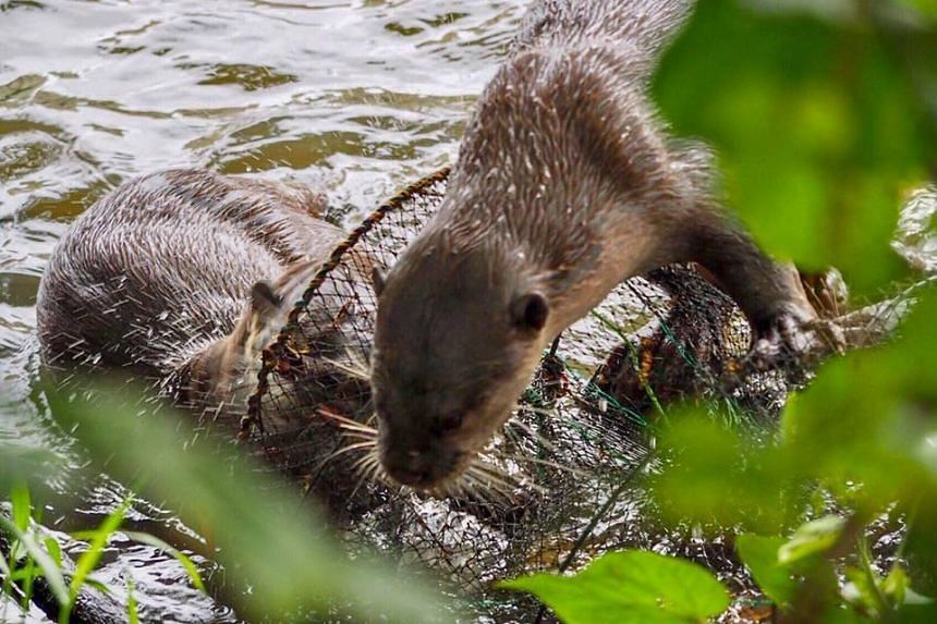 Otters were seen exploring a fish trapping cage illegally deployed at Marina Reservoir on Jan 2, 2018.