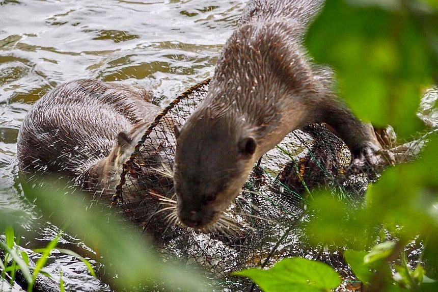 Otters were seen climbing on the trap in the waters near the Indoor Stadium. The otter watcher who spotted the trap informed PUB, which removed the cage with the help of community group OtterWatch.