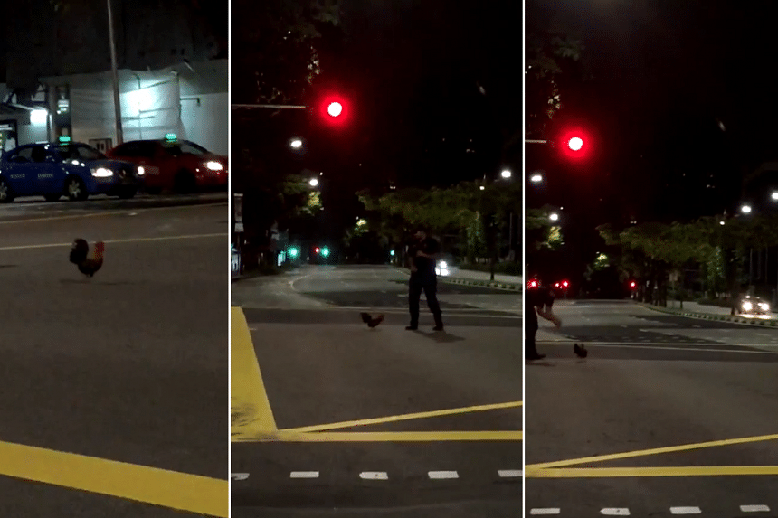 A Singapore Civil Defence Force officer rescued a rooster from the middle of the road at Hill Street on Jan 5, 2018.