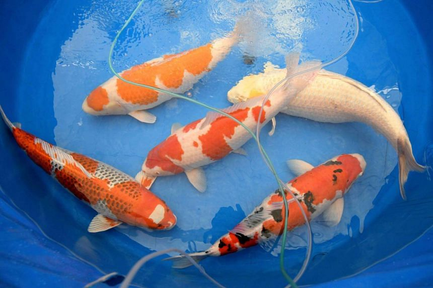 """Koi carp have for decades been popular in Japan, where top breeders take their most prized specimens to highly competitive """"beauty parades."""""""