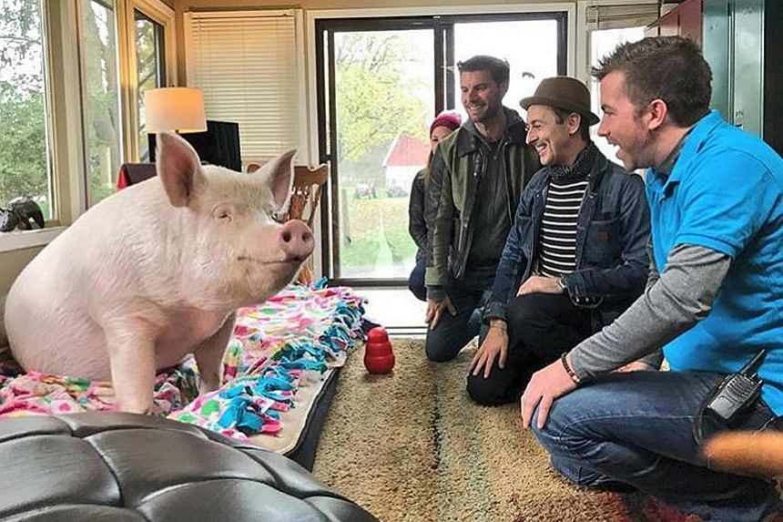 Esther the Wonder Pig getting a visit from fans.