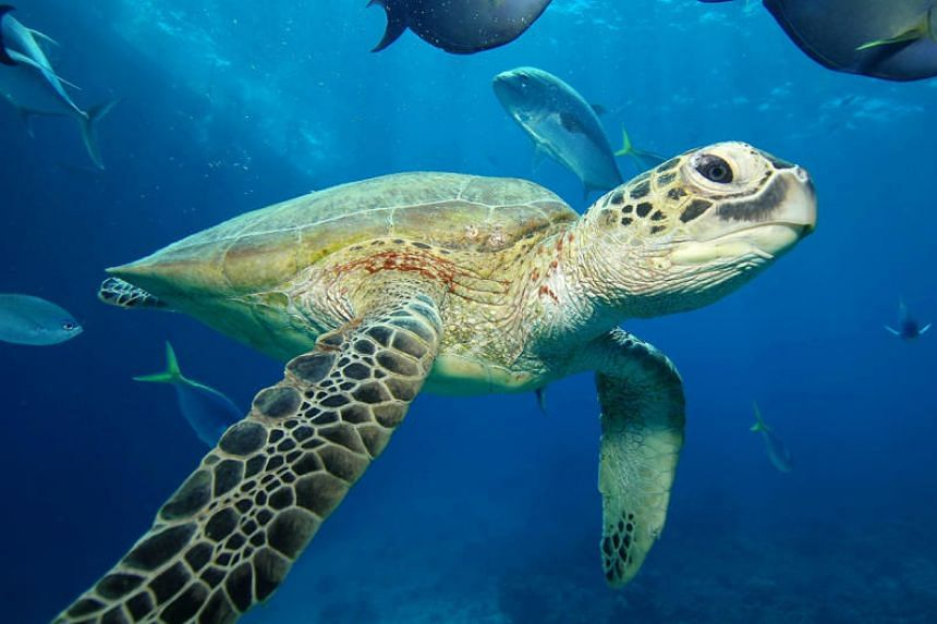 A turtle in the Great Barrier Reef in Cairns, Australia.