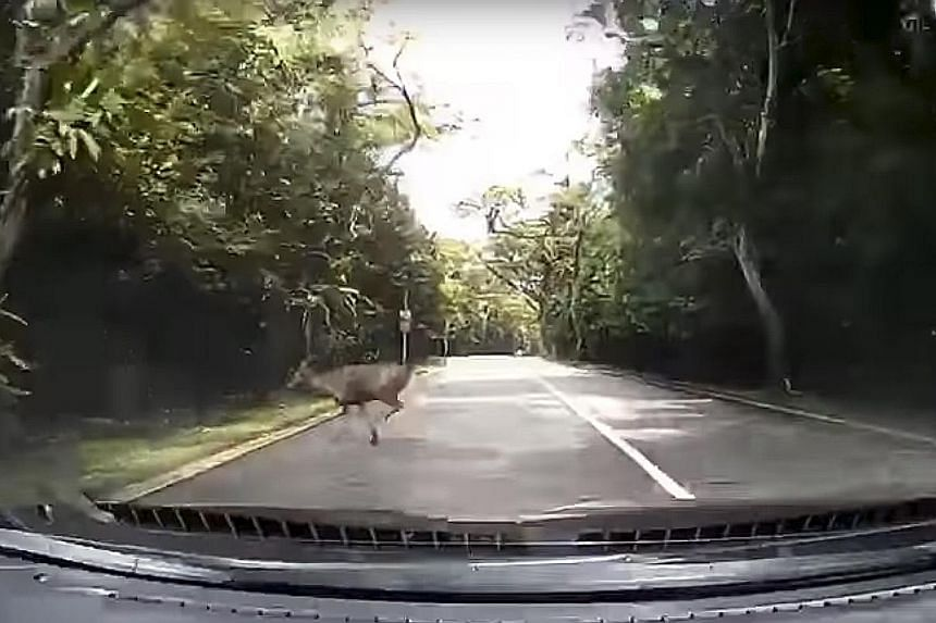 In a still from a dashcam video sent to The Straits Times by reader Donn Soh, the animal makes a sudden dash across the road in a split-second appearance.
