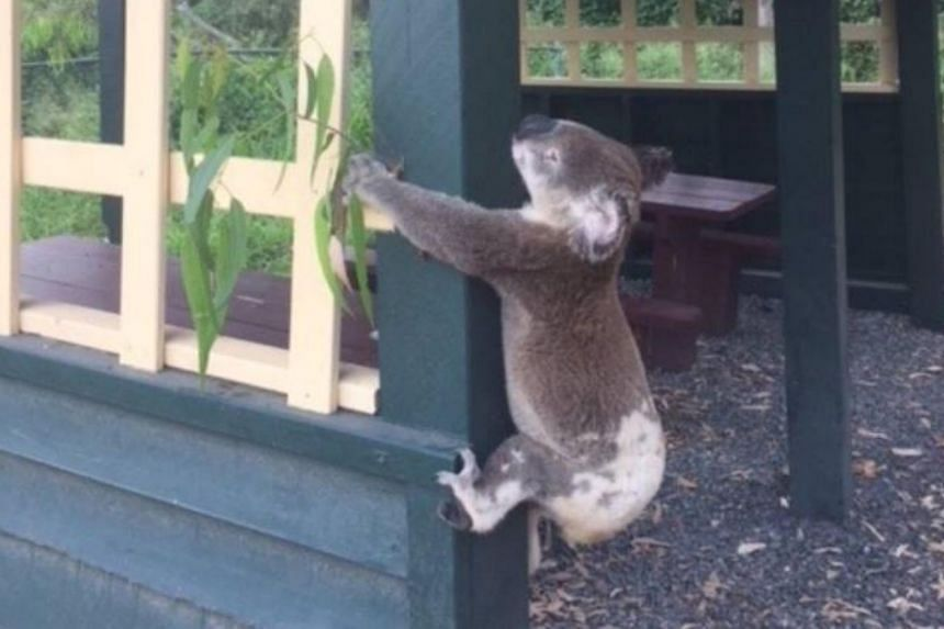 A dead koala was found screwed to a pole of a picnic shelter at Brooloo Park Lookout near Gympie, 175 kilometres north of Brisbane, Australia, on Jan 11, 2018.